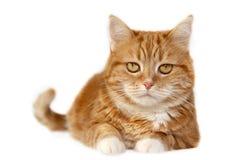 Gato vermelho com olhos alaranjados Imagens de Stock Royalty Free