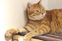 Gato vermelho curioso Fotografia de Stock Royalty Free