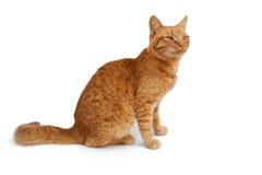 Gato vermelho de assento foto de stock