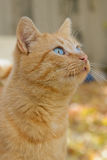 Gato vermelho de olhos azuis bonito Fotografia de Stock Royalty Free