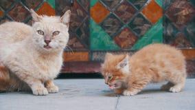 Gato vermelho desabrigado com um gatinho na rua que come o alimento Movimento lento vídeos de arquivo