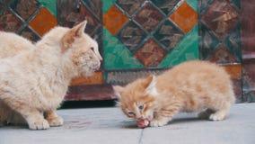 Gato vermelho desabrigado com um gatinho na rua que come o alimento Movimento lento video estoque