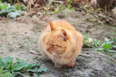 gato Vermelho-dirigido Gato na rua fotografia de stock royalty free