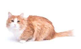 gato Vermelho-dirigido no fundo branco Imagens de Stock Royalty Free