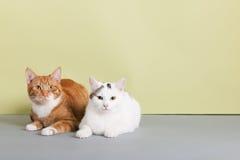 Gato vermelho e branco Imagens de Stock