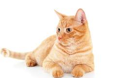 Gato vermelho elegante Fotografia de Stock