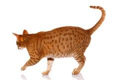 Gato vermelho em um fundo branco, foto de Ocicat do estúdio Imagem de Stock