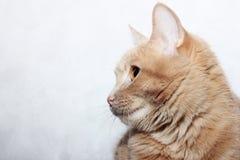 Gato vermelho em um fundo cinzento imagens de stock