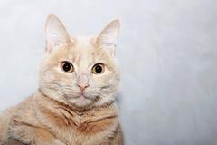 Gato vermelho em um fundo cinzento foto de stock