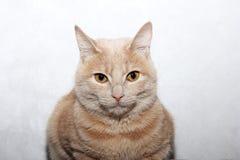 Gato vermelho em um fundo cinzento fotos de stock royalty free