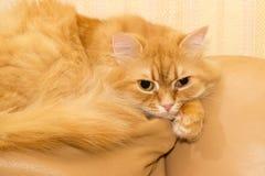 Gato vermelho em um sofá de couro amarelo Fotografia de Stock Royalty Free