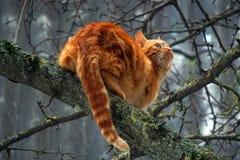 Gato vermelho em uma árvore de pera Caçador para os pássaros Imagem de Stock Royalty Free