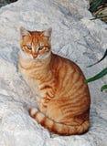 Gato vermelho listrado que senta-se em uma pedra branca Pé da cauda das orelhas Foto de Stock