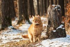 Gato vermelho na floresta Fotos de Stock Royalty Free