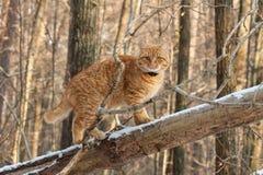 Gato vermelho na floresta em um ramo Fotos de Stock Royalty Free