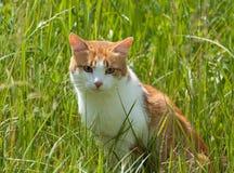 Gato vermelho na grama fotografia de stock royalty free