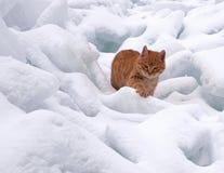 Gato vermelho na neve branca Foto de Stock Royalty Free