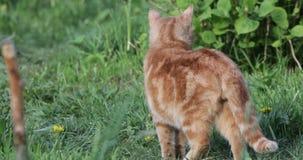 Gato vermelho na opinião do quintal para trás video estoque
