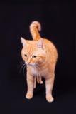 Gato vermelho no estúdio em um fundo preto Foto de Stock Royalty Free