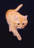 Gato vermelho no estúdio em um fundo preto Fotos de Stock