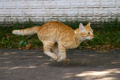 Gato vermelho no salto imagem de stock