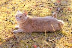 Gato vermelho que encontra-se na metade-volta Imagens de Stock Royalty Free