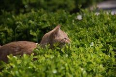 Gato vermelho que prepara-se para atacar Imagens de Stock