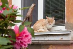 Um gato vermelho em uma janela velha com flores Fotografia de Stock Royalty Free
