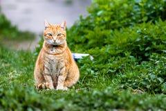 Gato vermelho que senta-se na grama verde Imagens de Stock Royalty Free