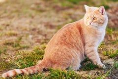 Gato vermelho que senta-se na grama verde da mola Foto de Stock Royalty Free