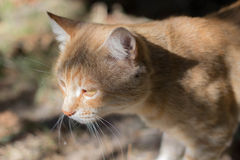 Gato vermelho só, triste Gato adulto sério Gato bonito do curto-cabelo Fotografia de Stock