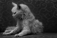 Gato viejo Foto de archivo libre de regalías
