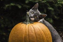 Gato y calabaza Imagenes de archivo