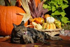 Gato y calabazas de gato atigrado Fotografía de archivo libre de regalías