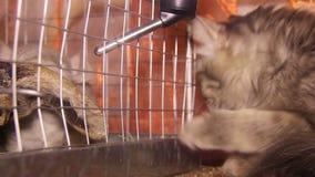 Gato y chinchilla almacen de metraje de vídeo