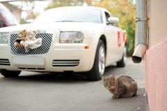 Gato y coche de la boda Foto de archivo