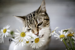 Gato y Daisy Flowers Imagen de archivo libre de regalías