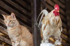 Gato y gallo fotos de archivo