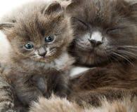 Gato y gatito Imagen de archivo libre de regalías