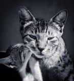 Gato y gatito Fotos de archivo