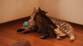 Gato y gatito de la mamá almacen de metraje de vídeo