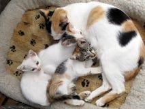 Gato y gatitos Fotos de archivo libres de regalías