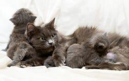 Gato y gatitos Foto de archivo libre de regalías
