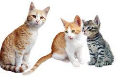 Gato y gatitos en blanco Foto de archivo libre de regalías