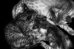Gato y gatitos que alimentan B/W Imagen de archivo