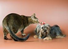 Gato y lap-dog en estudio Imagen de archivo libre de regalías