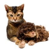 Gato y lapdog en estudio Fotos de archivo libres de regalías