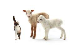 Gato y ovejas Foto de archivo