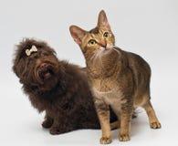 Gato y perritos del lapdog en estudio Imágenes de archivo libres de regalías