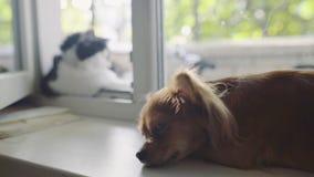 Gato y perro Perro de la chihuahua y gato mullido en el travesaño de la ventana en hogar almacen de metraje de vídeo